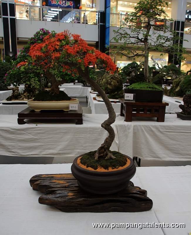 Santan bonsa literati for Literati bonsai gallery