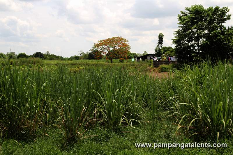 Sugar Cane Plantation 2