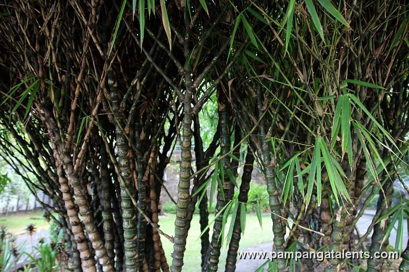 Buddha Bamboo (Bambusa tuldoides Ventricosa)