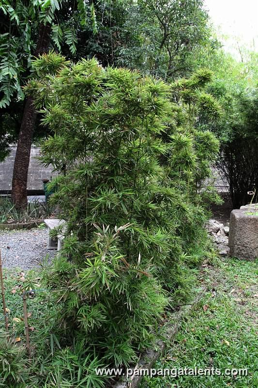 Landscaping With Dwarf Bamboo : Dwarf bamboo arundinaria pygmaea mitf