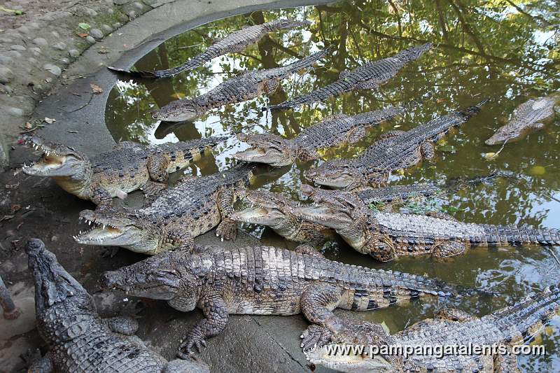 Philippine crocodile - photo#3
